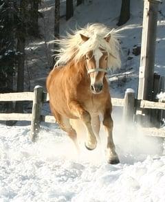 Cavalli aveglinesi